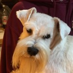 Stunning Kc. Eye Tested Clear Mini Schnauzer Stud