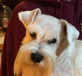 Pets  - Stunning Kc. Eye Tested Clear Mini Schnauzer Stud