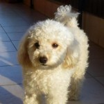 Rare Sprockerpoo Puppies