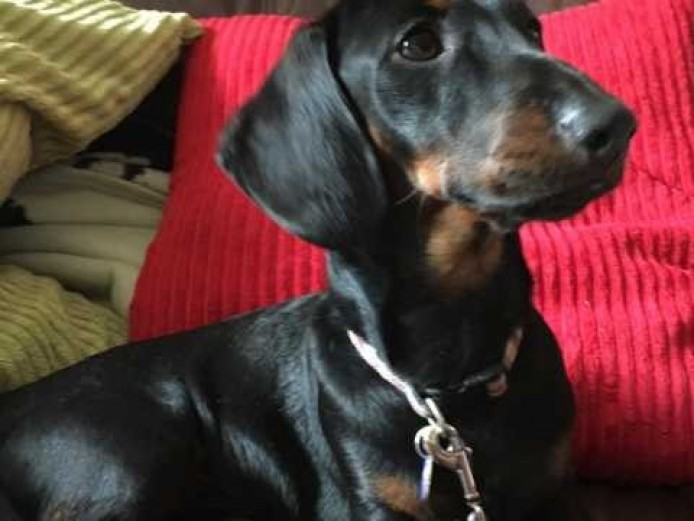 Black And Tan Miniature Dachsund Kc Reg Pra Clear