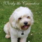Woody The Cavachon Available For Stud Duties