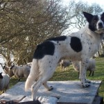 Working Border Collie At Stud . Proven