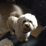 Both Parents Dna Health Tested Cavapoochons