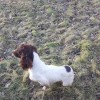 Pets  - F.t.a.w. Springer Spaniel For Stud