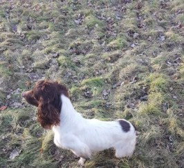 F.t.a.w. Springer Spaniel For Stud