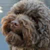 Pets  - Chocolate Poodle Stud . 8 Clear Dna Health Tests
