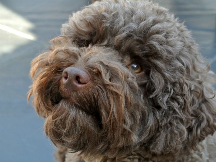 Chocolate Poodle Stud . 8 Clear Dna Health Tests