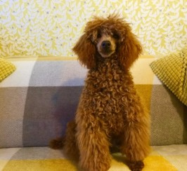 Fox Red Toy Poodle Pra Clear