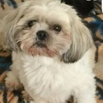 Shih Tzu Kc Registered Puppies For Sale