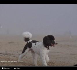 Kc Brown Standard Poodle Puppies Due 25 April