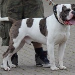 Alapaha Blue Blood Bulldog For Stud