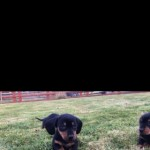 Gorgeous Miniature Black . Tan Dachshund Puppies