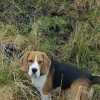 Pets  - Beagle For Stud