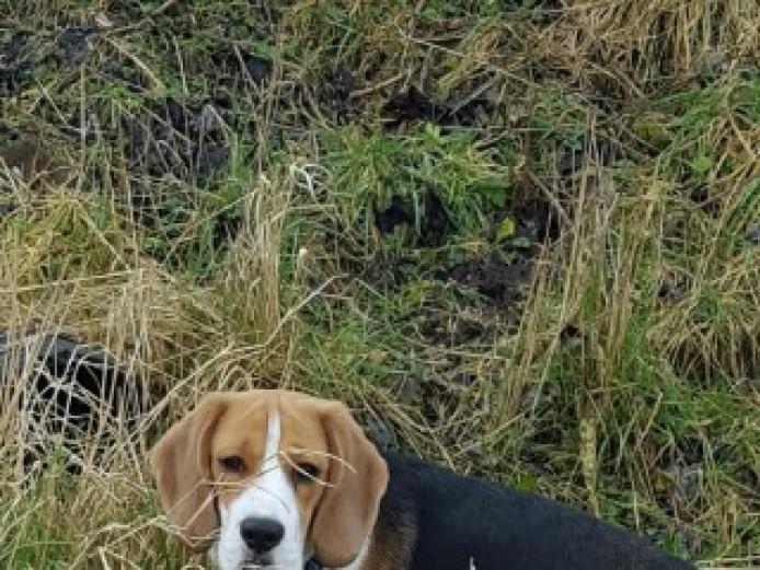 Beagle For Stud