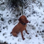 Hungarian Vizsla At Stud