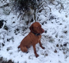 Pets  - Hungarian Vizsla At Stud