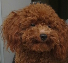 Pets  - Red Toy Poodle Multiple Clear Dna Tests