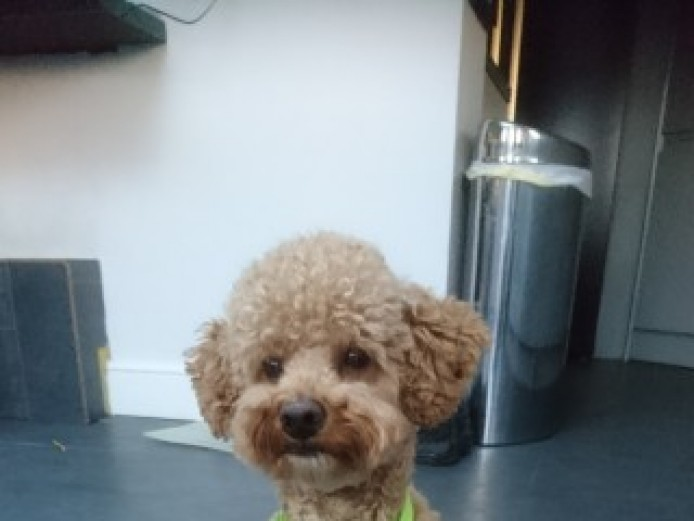 Well Proven. Toy Poodle Pedigree