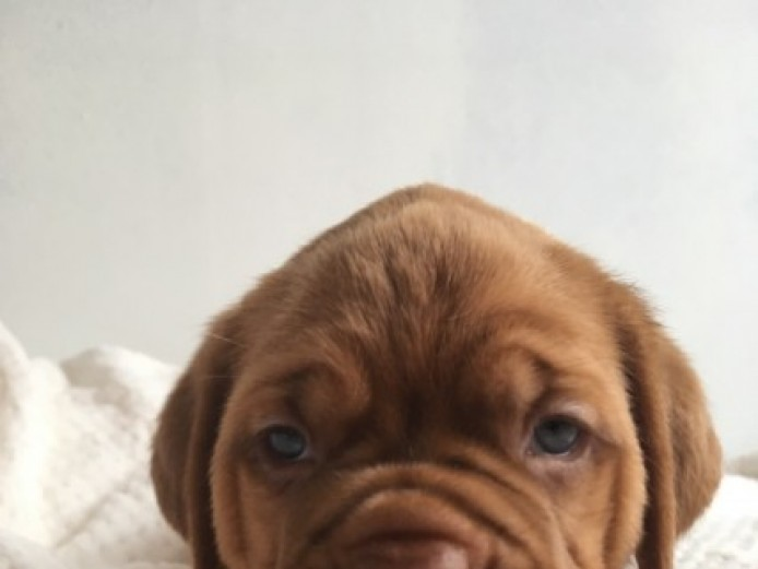 Beautiful Pure Pedigree Dogue De Bordeaux Pups