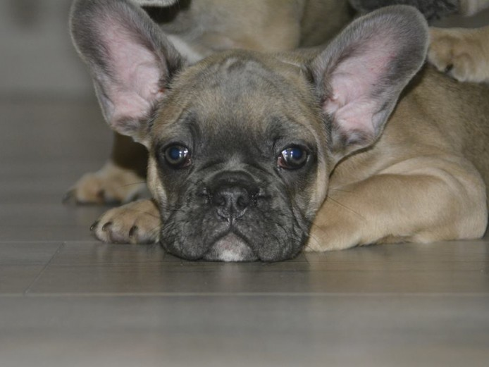 French Bulldog fawn/blue