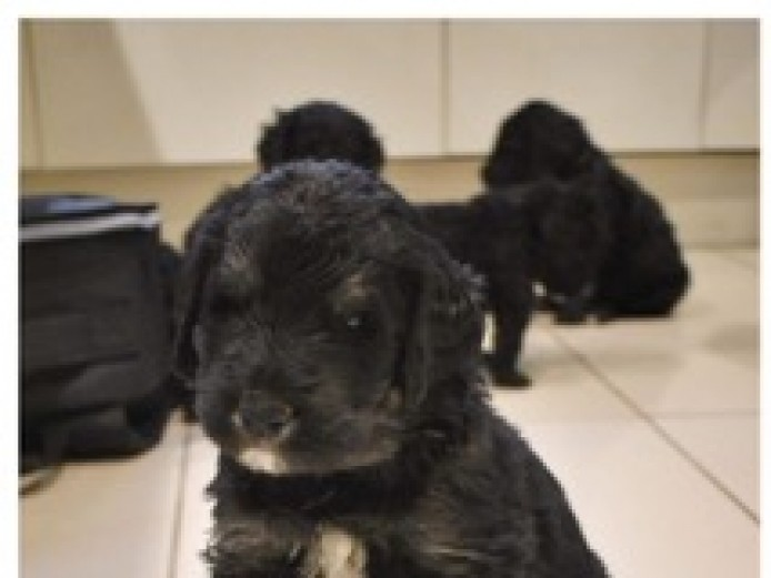 Newfypoo puppies for sale