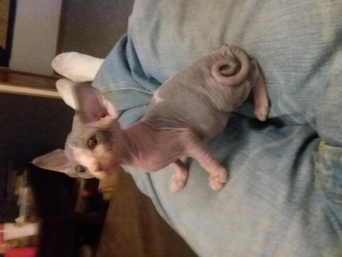 Playful And Affectionate Sphynx Kittens For Sale