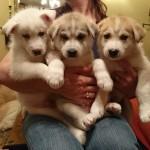 siberian Husky and German Shepherd cross puppies