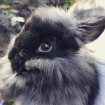 Babies Angora Rabbits fior sale or stud