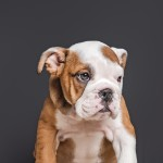 10 gorgeous chunky kc reg  British bulldogs red/white