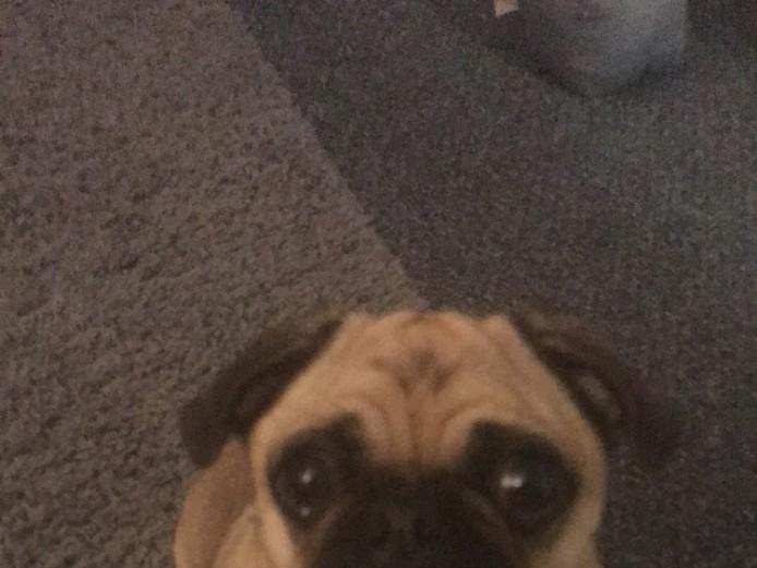 3 year old pug girl
