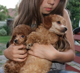 KC reg Toy poodle puppies