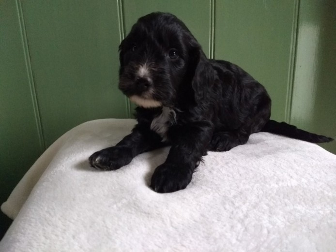Ready Now!! Cockapoo puppies