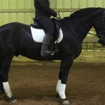 Gorgeous 16.1hh Imported Friesian Gelding