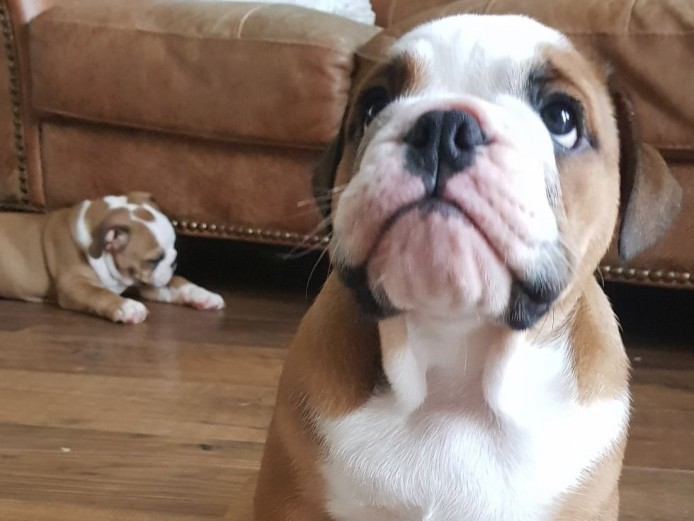 Outstanding Kc Reg English Bulldog Puppies
