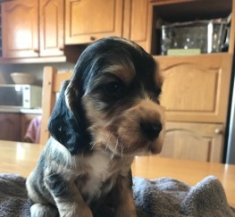 Pets  - Beautiful cocker spaniel puppies. Viewings begin this weekend!