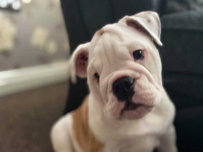 KC registered Bulldogs for sale