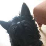 KC Regd Scottish Terrier Stud Dog (Proven)