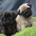 Stunning black and fawn pugs