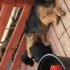Pets  - Patterdale terriers