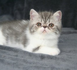 Exotic Shorthair boy, for company & show