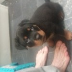 Male Rottweiler  due to leave on the 26th