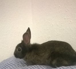 URGENT SELL BABY RABBIT