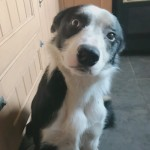 Beautiful collie for sale