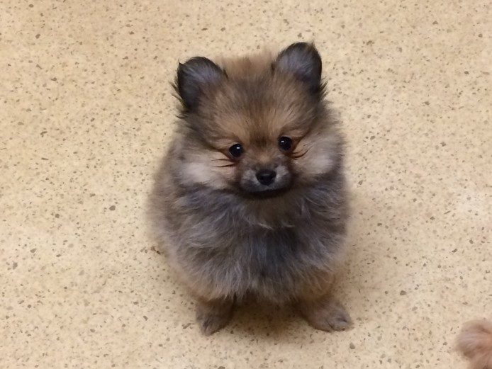 Purebred Pomeranian Puppies.