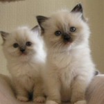 2 White Ragdoll kittens available