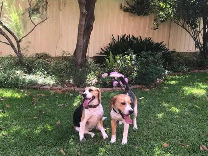 Fully Vaccinated 1st and 2nd Tricolor beagle puppies ready now