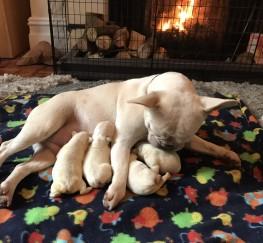 Pets  - Cream french bulldogs