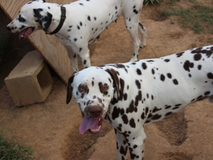 Top Quality Dalmatian Produced Lovely Puppies **ready Now**