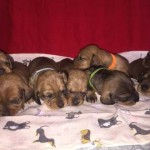 KC Standard Dachshund Puppies!