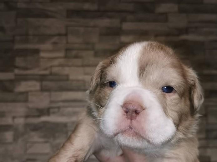 Stunning New England Bulldog pups